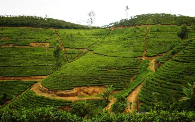 Tata Tea Plantations